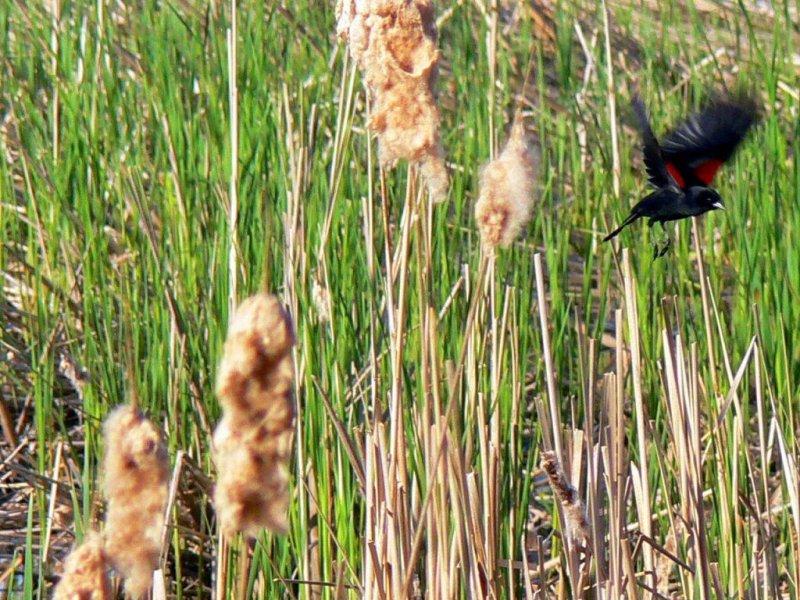 Red winged blackbird in flight.