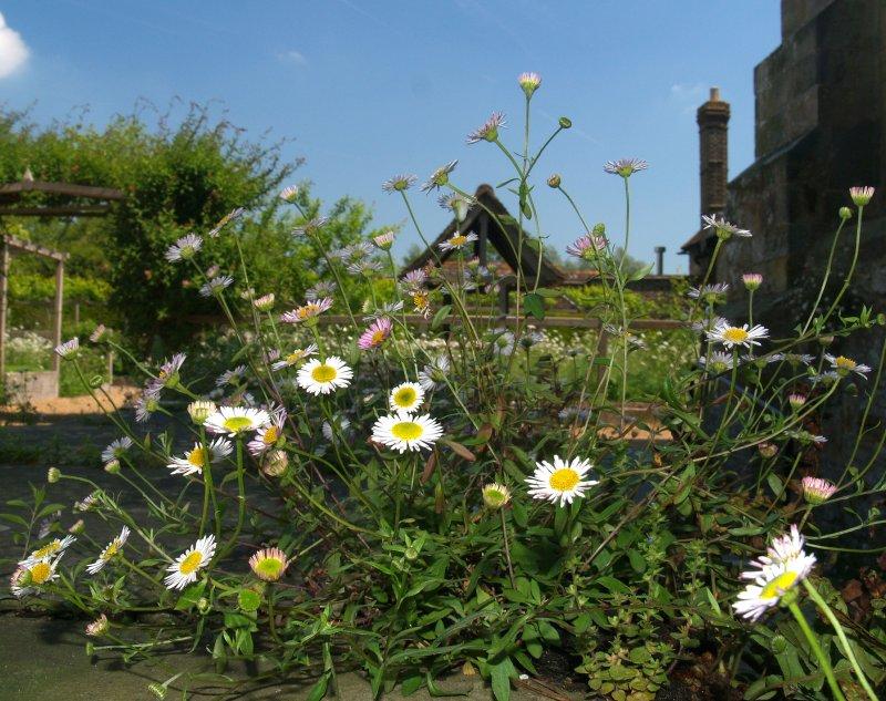 Daisies at Michelham Priory