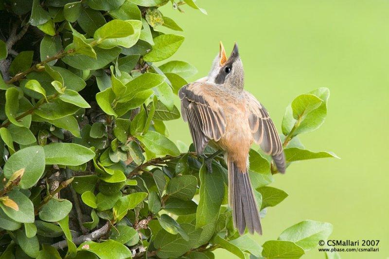 Juvenile Long-tailed Shrike