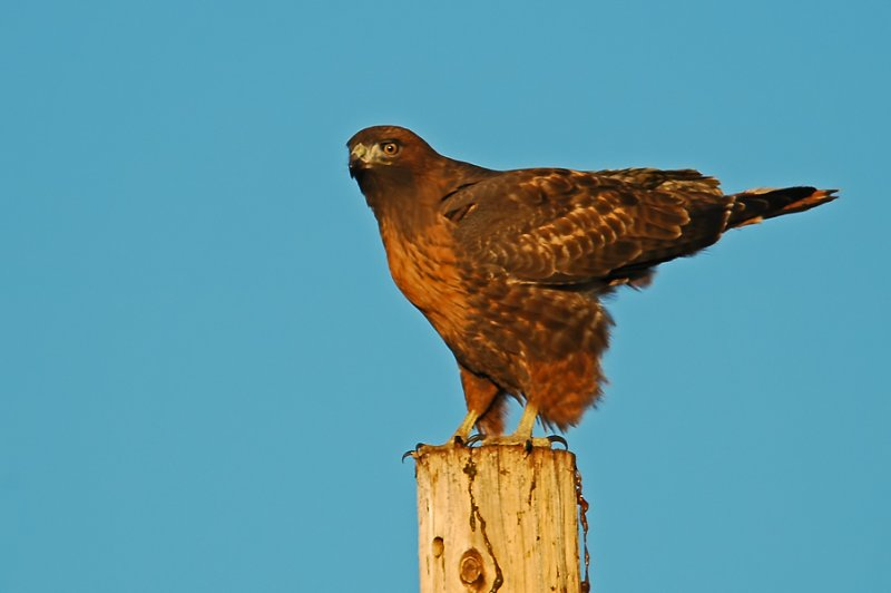 Intermediate Morph Red-tailed Hawk 2