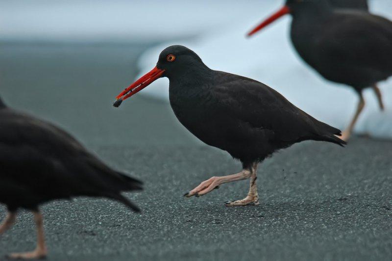 Black Oystercatcher 4