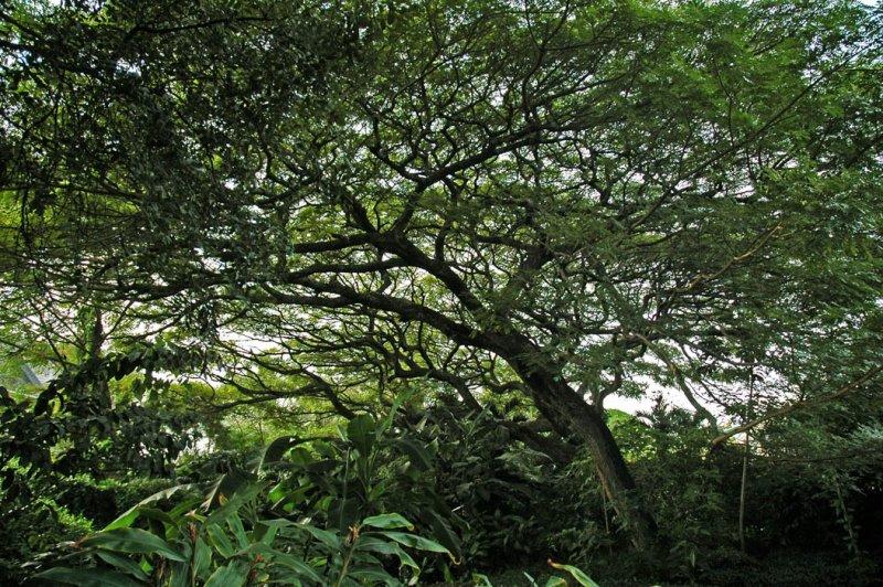 Monkeypod Tree, Ohai