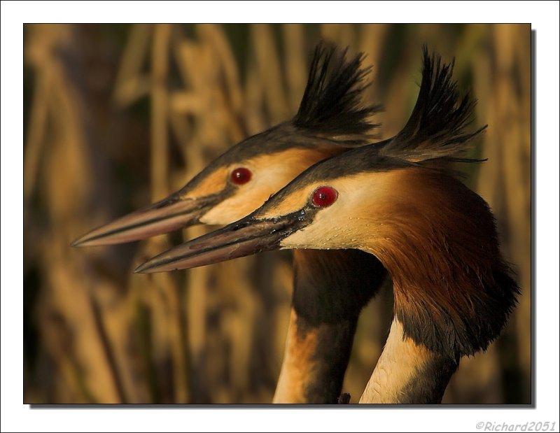 Fuut - Podiceps cristatus - Great Crested Grebe