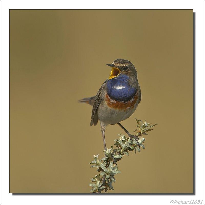 Blauwborst - Luscinia svecica - Bluethroat