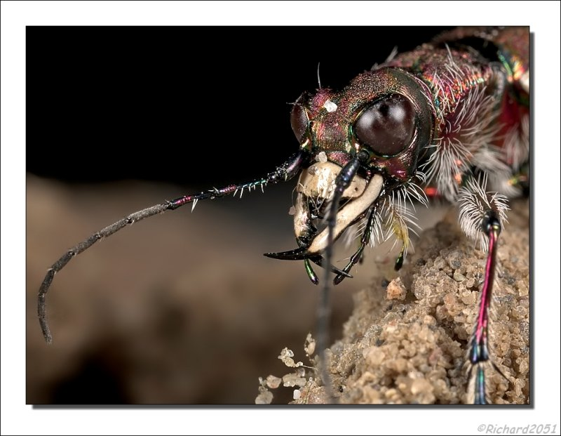 Basterdzandloopkever - Cicindela hybrida - Tiger beetle