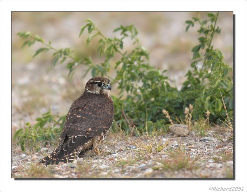 Smelleken - Falco columbarius - Merlin