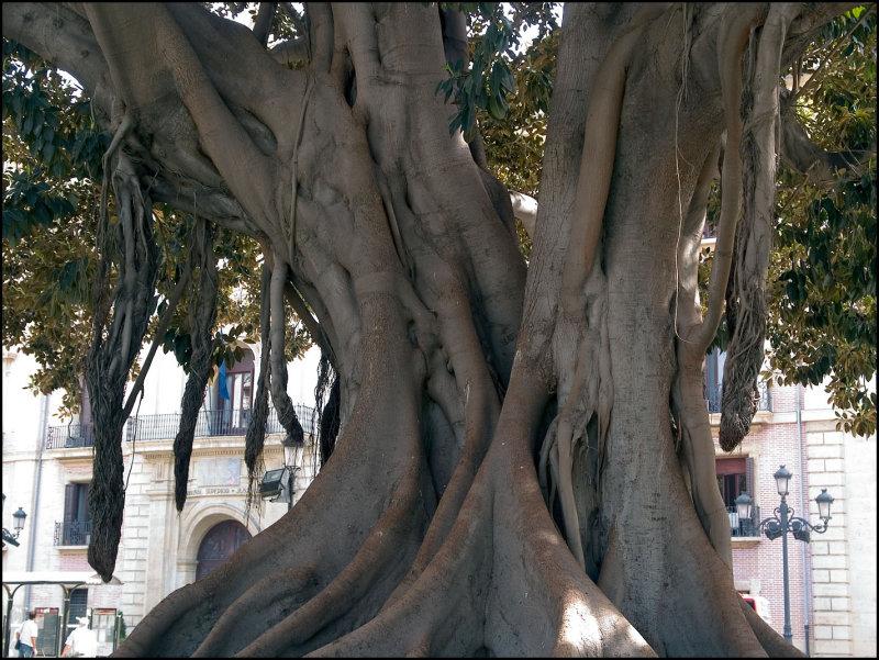 Ficus magnolia