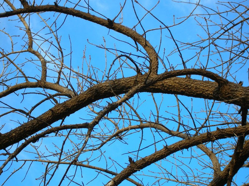 Winter bare pistachio branch