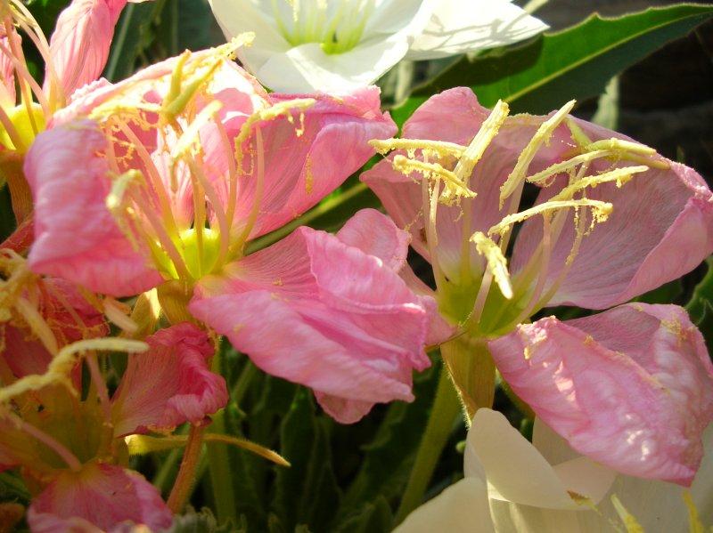 Old flowers on Oenothera caespitosa