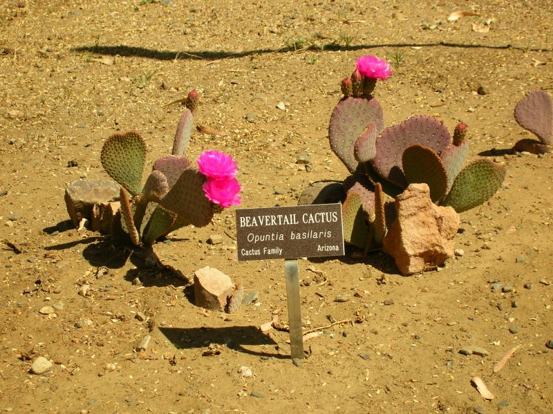 We planted some Beaver Tail prickly pear in the cactus garden this year
