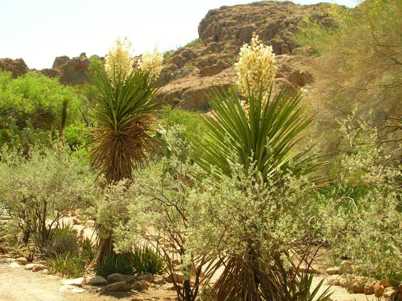 Yuccas flowering in the Cactus Garden