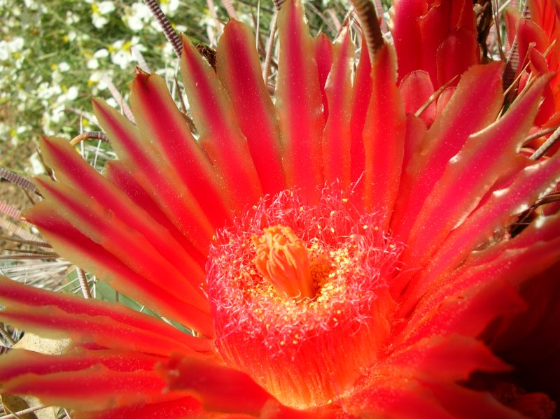 Barrel Cactus - Ferocactus emoryi