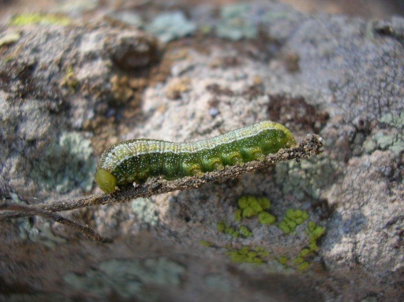 Snout butterfly caterpillar