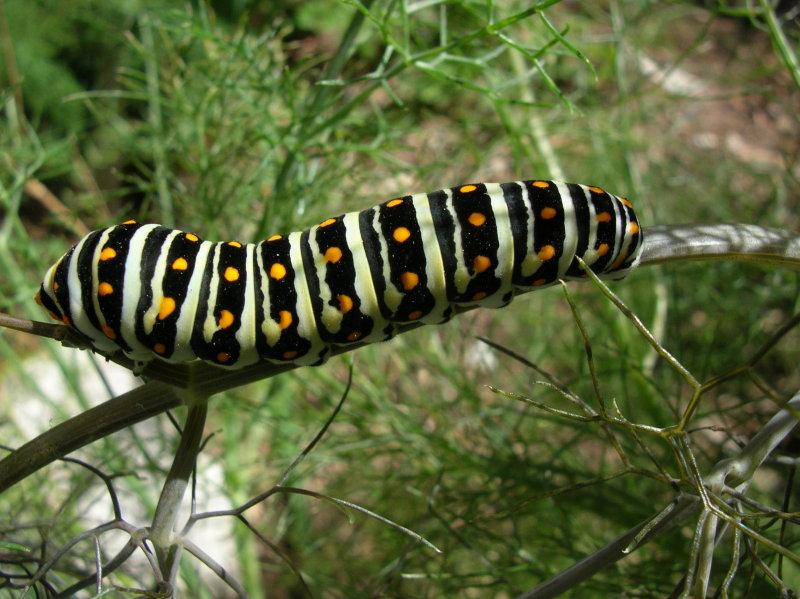 Black Swallowtail caterpillar feeding on fennel in the Herb Garden