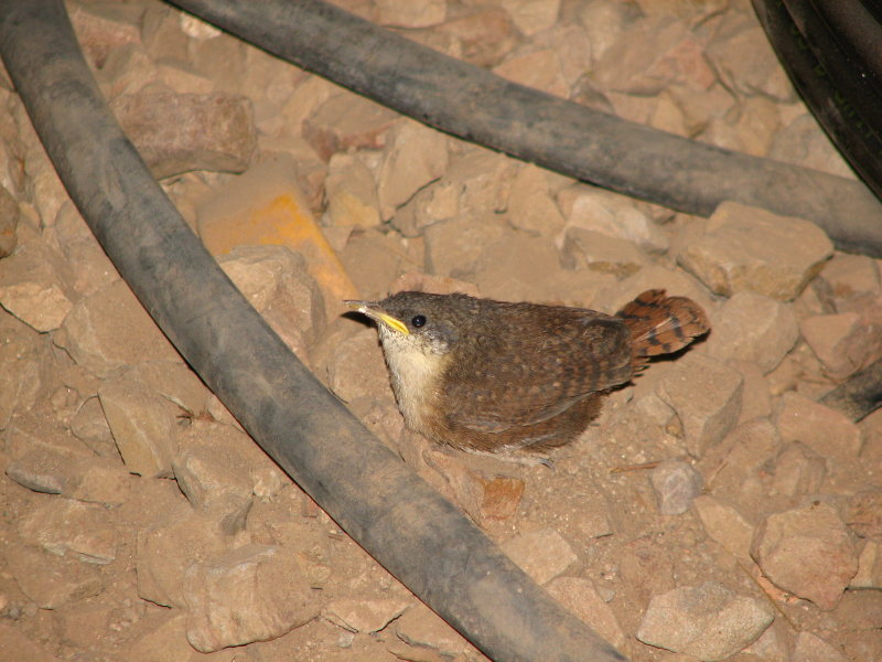 A baby Canyon wren in the tool crib