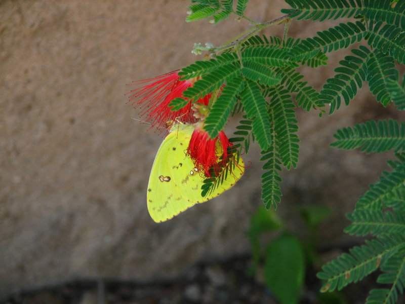 Butterfly on Red Fairy Duster