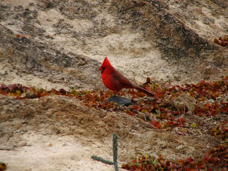 Cardinal in the canyon