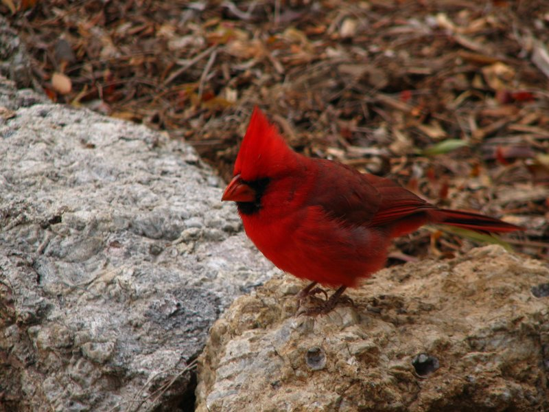 Cardinal near the main trail in the canyon