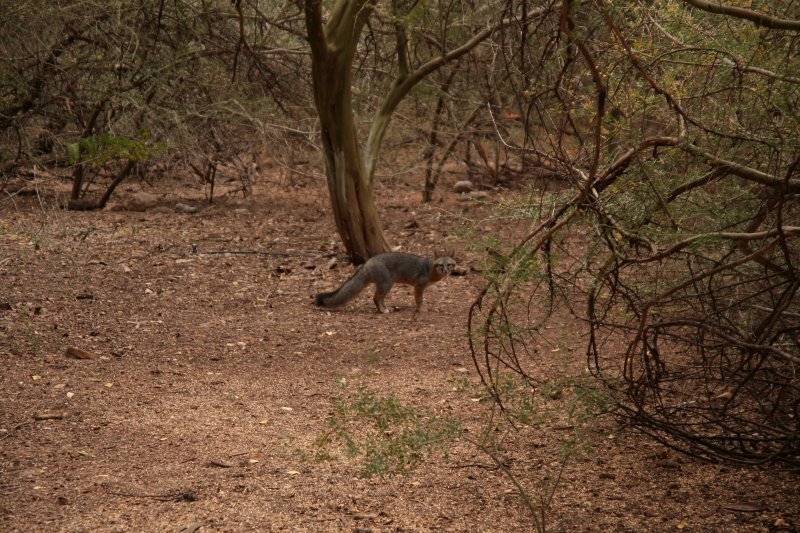 Gray Fox by the Chilian Palo Verde Trees