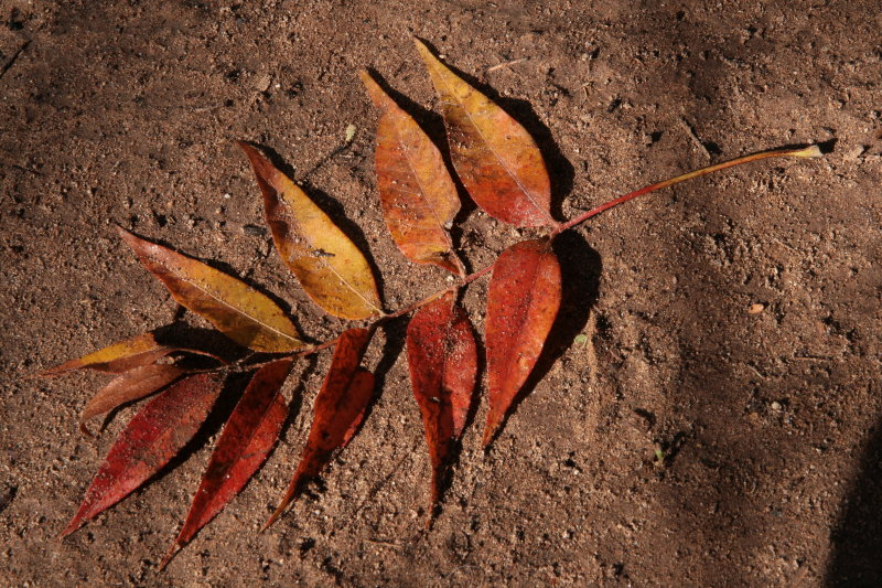 Chinese Pistachio leaf
