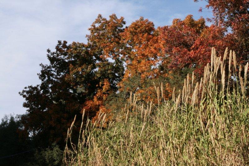 Giant Reeds along Queen Creek