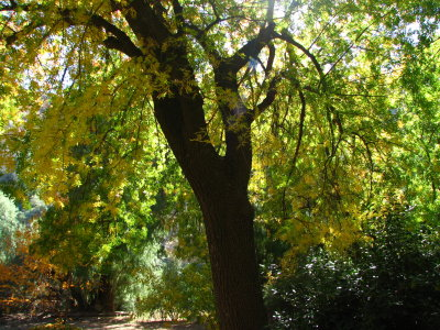 Chinese Pistachio across from the Herb Garden