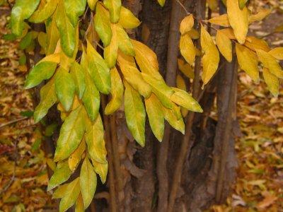 Fall color - Jujube