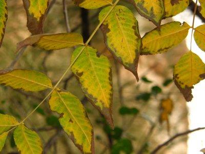 Fall color - Arizona walnut