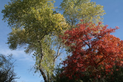 Cottonwood and Chinese Pistachio Tree in Silver King