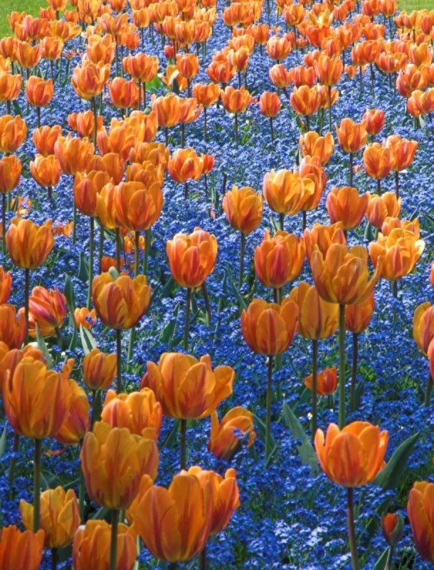 Tulip _DSC9386  sRGB-01.jpg