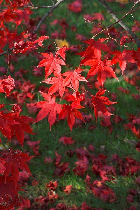 Light on the Maple