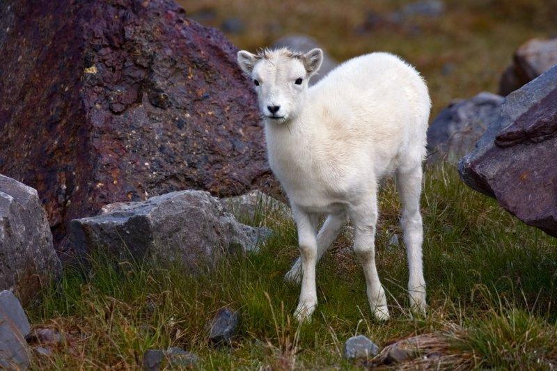 Alaskan Dahl Sheep