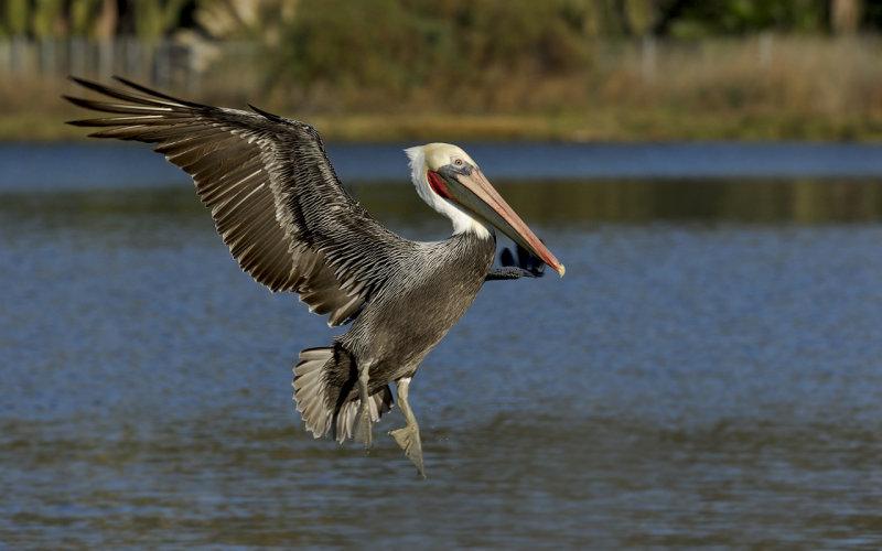 Pelican_002.jpg