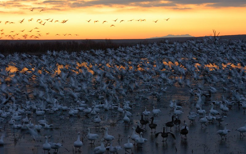 Snow Geese Start to Lift