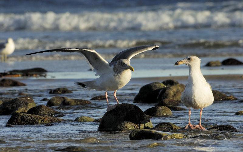 Gulls at Sunset - Malibu Lagoon