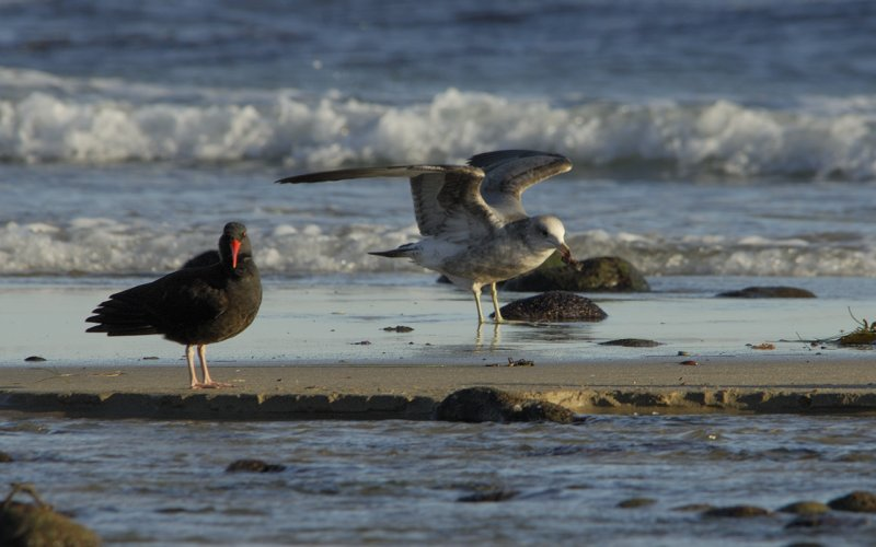 Oystercatcher and Seagull