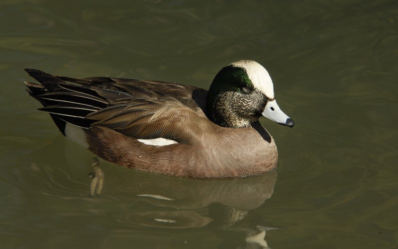Visiting American Widgeon