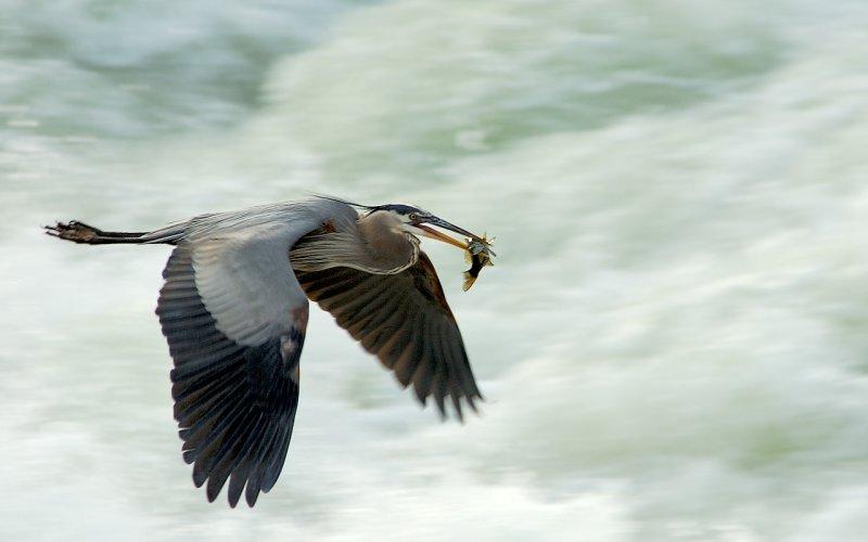 Great Blue Heron @ Great Falls