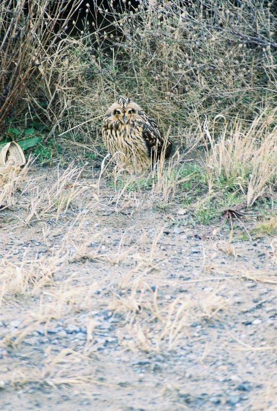 Short-eared Owl-Brooklyn, NYC