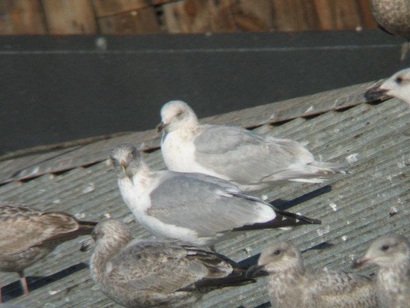 Kumliens Iceland Gull-Third Winter