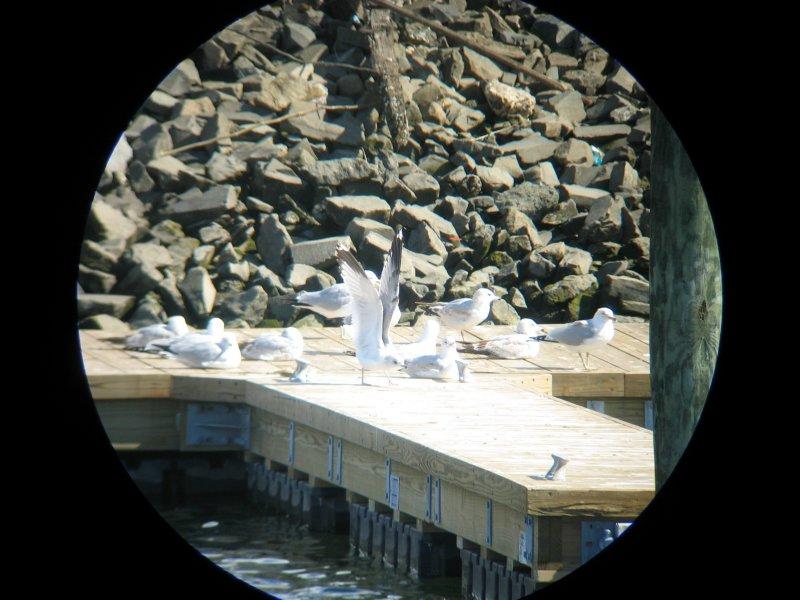 Common Gull- Brooklyn, NY