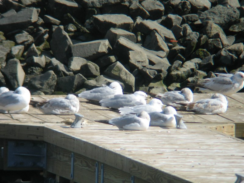 Common (Mew) Gull with Ring-billed Gulls