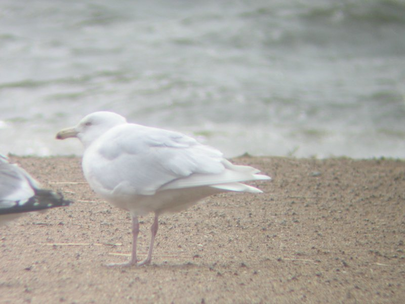 Glaucous Gull-4th cycle