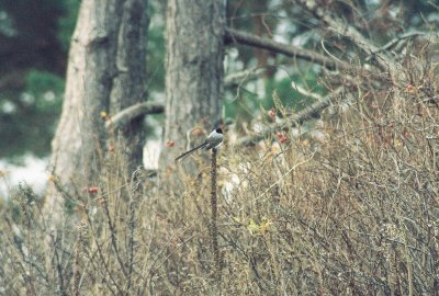 NHs first well-documented Fork-tailed Flycatcher