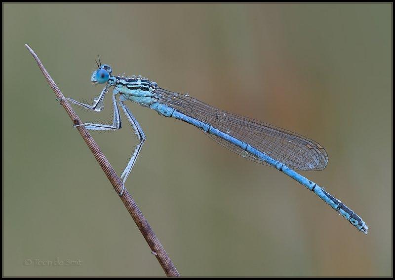 White-legged Damselfly / Blauwe Breedscheenjuffer