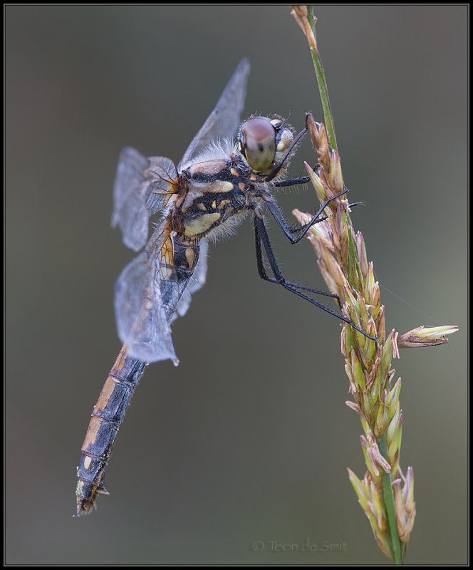Black Darter / Zwarte Heidelibel
