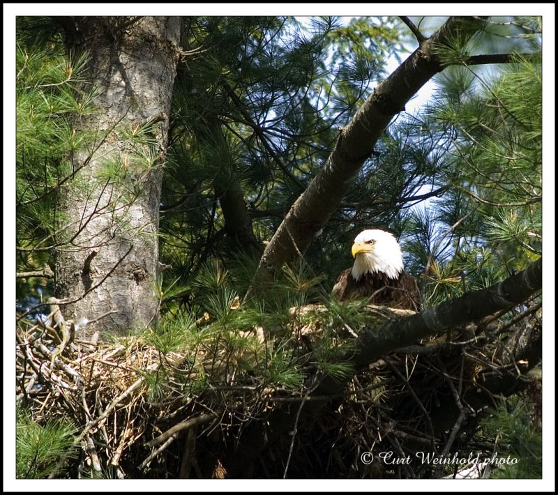 2007 adult eagle on the nest.