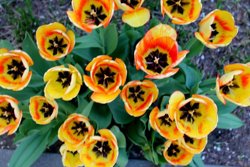 Hofstra tulip festival