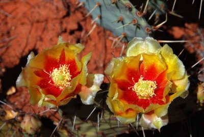 Unusual Cactus Flower Colors
