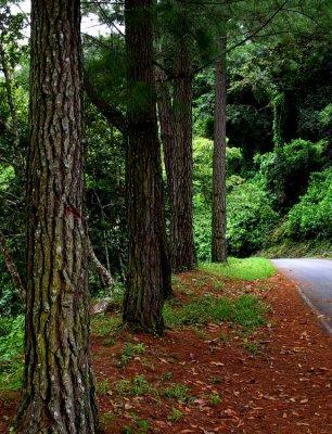Tree Friends Everywhere in Panama